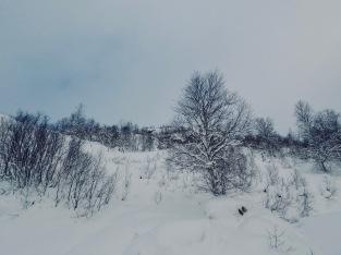 Fjellbjørka regjerer.